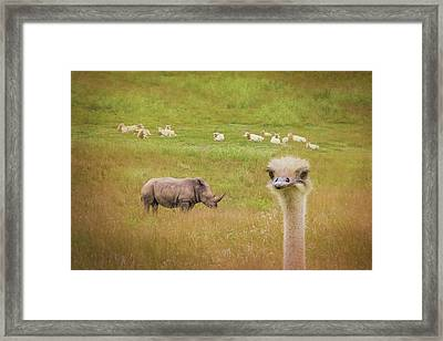 Curious Ostrich And White Rhino Framed Print