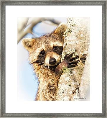 Curious Raccoon 6054 Framed Print by Dan Beauvais