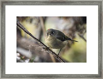 Curious Ruby-crowned Kinglet Framed Print