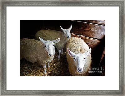 Curious Sheep Framed Print by Kevin Fortier