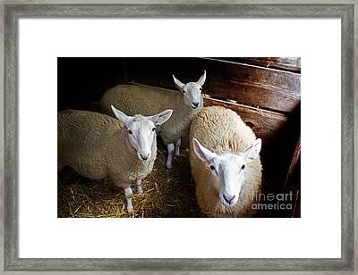 Curious Sheep Framed Print