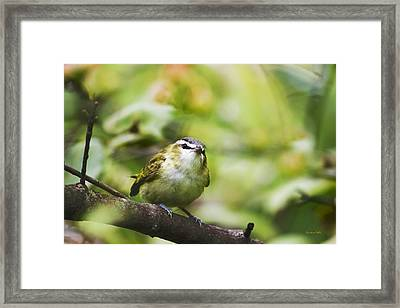 Curious Vireo Framed Print by Christina Rollo