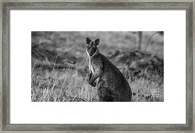 Curious Wallaby 1 Framed Print