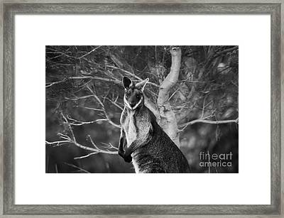 Curious Wallaby 2 Framed Print by Naomi Burgess