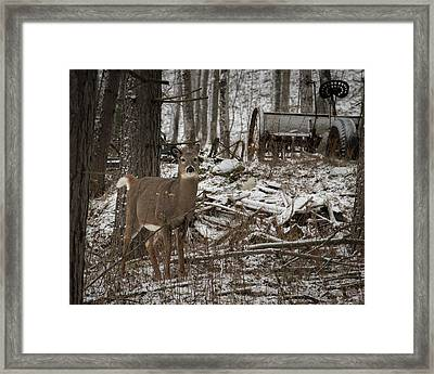 Curious Whitetail Framed Print