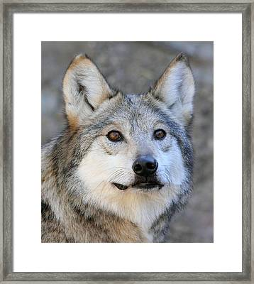 Curious Wolf Framed Print