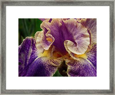 Curled Iris Petals Framed Print by Jean Noren