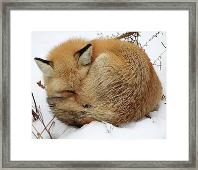 Curled Up Fox Framed Print
