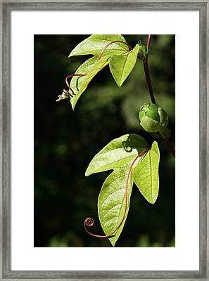 Curly Cue Clematis Framed Print by Tammy Pool