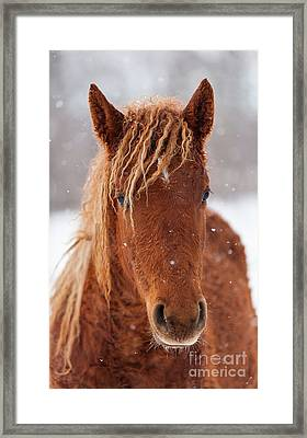 Curly Horse In Winter Framed Print