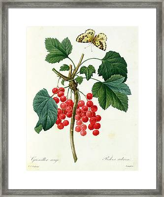 Currants  Red Framed Print by Pierre Joseph Redoute