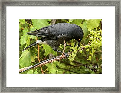 Framed Print featuring the photograph  Currawong On A Vine by Werner Padarin