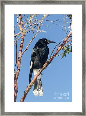 Currawong Framed Print