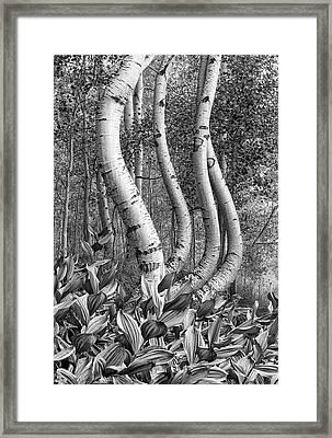 Curved Aspens Framed Print