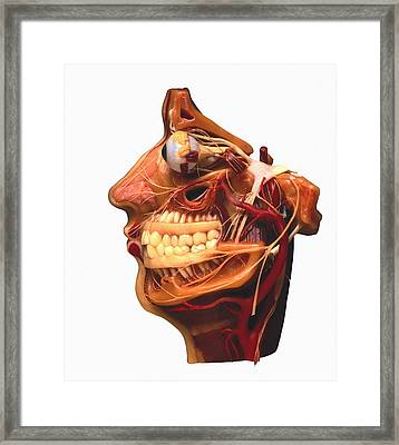 Cutaway Model Of Face Framed Print by Victor De Schwanberg