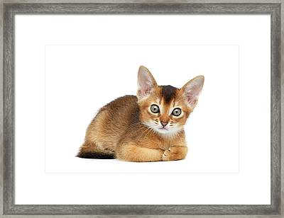 Cute Abyssinian Kitty Funny Lying On Isolated White Background Framed Print by Sergey Taran