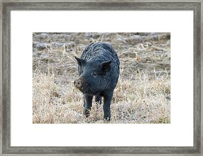 Framed Print featuring the photograph Cute Black Pig by James BO Insogna
