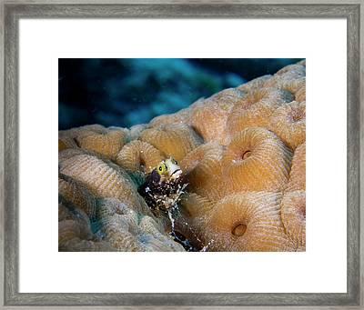 Cute Blenny Framed Print by Jean Noren