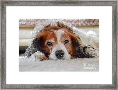 Cute Brown And White Dog Laying On Carpet Framed Print
