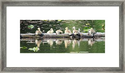 Cute Canadian Geese Chicks Framed Print by Pierre Leclerc Photography