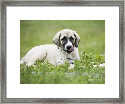 Anatolian Shepherd Puppy Framed Print by Juli Scalzi