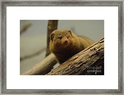 Cute Face Of A Mongoose With A Bunch Of Fallen Logs Framed Print