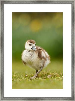 Cute Gosling Framed Print by Roeselien Raimond