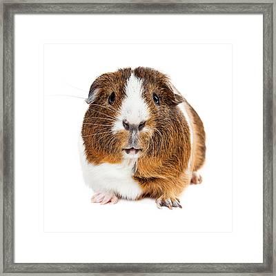Cute Guinea Pig Looking Forward Framed Print by Susan Schmitz
