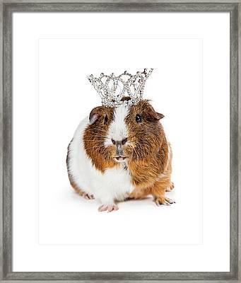 Cute Guinea Pig Wearing Tiara Framed Print by Susan Schmitz