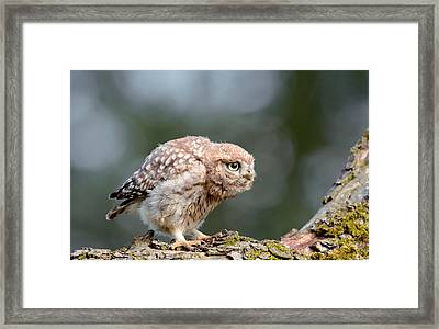 Cute Little Owlet Framed Print by Roeselien Raimond