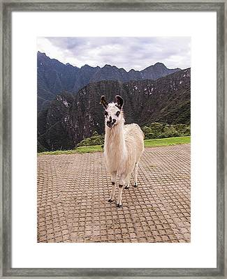 Cute Llama Posing For Picture Framed Print