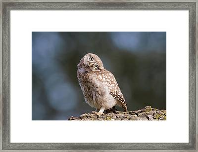 Cute, Moi? - Baby Little Owl Framed Print by Roeselien Raimond