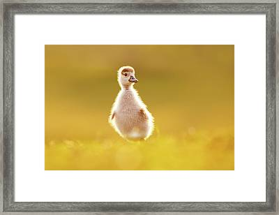 Cute Overload - Baby Gosling Framed Print by Roeselien Raimond