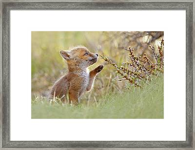 Cute Overload Series - Curious Fox Kit Framed Print by Roeselien Raimond