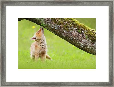 Cute Overload Series - Sniffing Fox Kit Framed Print