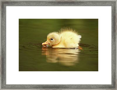 Cute Overload Series - The Very Hungry Duckling Framed Print