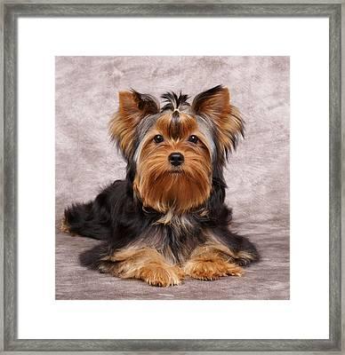 Cute Puppy Framed Print by Konstantin Gushcha