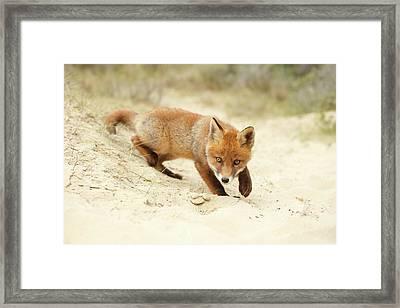 Cute Red Fox Kit Practising Its Hunting Skills Framed Print