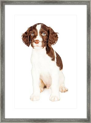 Cute Springer Spaniel Puppy Over White Framed Print by Susan Schmitz