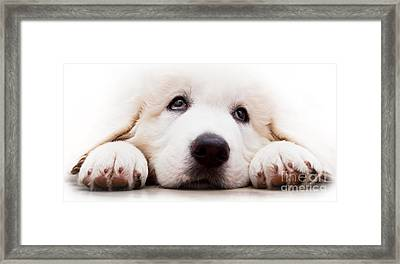 Cute White Puppy Dog Lying And Looking Up. Polish Tatra Sheepdog Framed Print