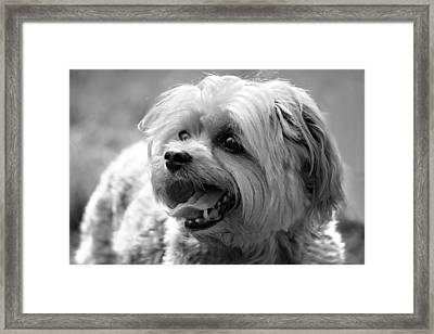 Cute Yorkie - Yorkshire Terrier Dog Framed Print by Tracie Kaska