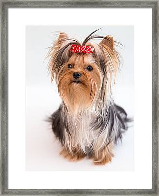 Cute Yorkie Puppy With Red Bow Framed Print by Yana Reint
