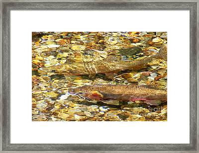 Cutthroat Trout In Clear Mountain Stream Framed Print by Greg Hammond