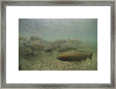 Cutthroat Trout Swim Framed Print by Michael S. Quinton