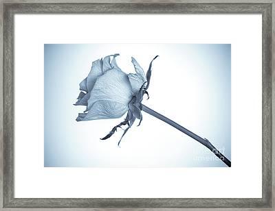 Cyanotype Rose Framed Print by John Edwards