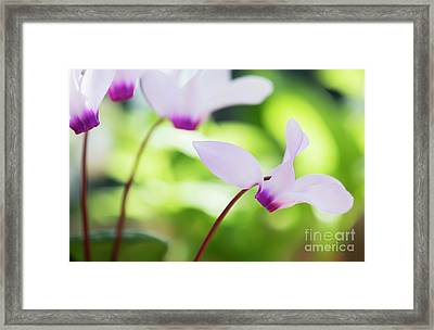 Framed Print featuring the photograph Cyclamen Persicum by Tim Gainey