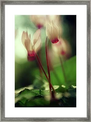 Cyclamens Framed Print