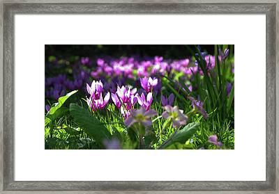 Cyclamens Framed Print by Maria Joy