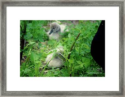 Cygnets V Framed Print by Cassandra Buckley