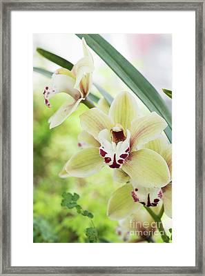 Framed Print featuring the photograph  Cymbidium Orchid by Tim Gainey